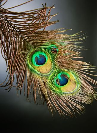 Peacock Feathers over black photo