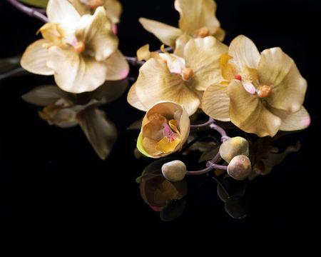 flores exoticas: Hermosa orqu�dea sobre negro