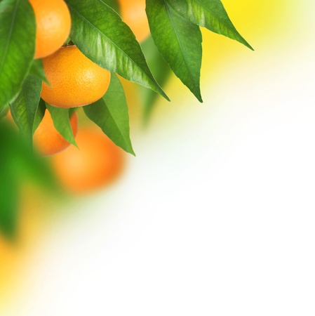 Ripe Tangerines growing.Border design photo
