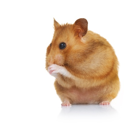 Funny Hamster over white photo