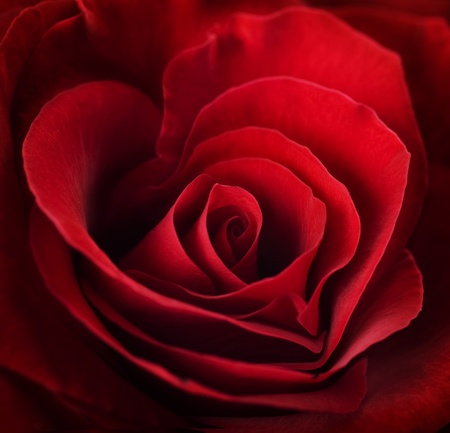 Valentine red rose.heart shaped photo