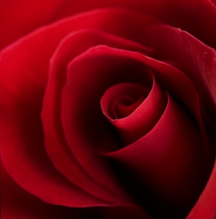 red centre: Valentine Red Heart Rose