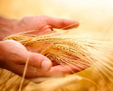 cosecha de trigo: Orejas de trigo en las manos.Concepto de cosecha