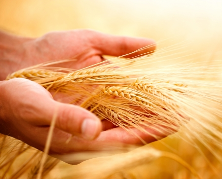 barley field: Wheat ears in the hands.Harvest concept