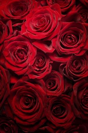 roses rouges: Arri�re-plan de Roses rouges.Focus s�lective