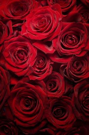 Red Roses background.Selective focus photo