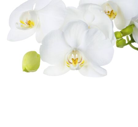 Orchid over white photo