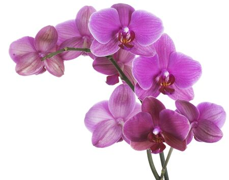 orchid isolated: Orchid