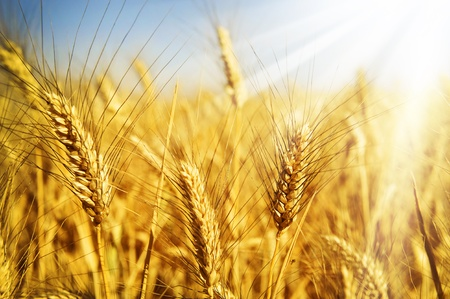 healthy grains: Wheat