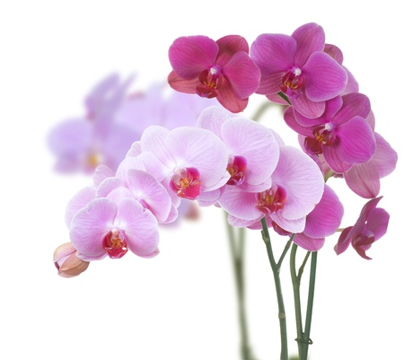 bunch up: Orchids over white Stock Photo