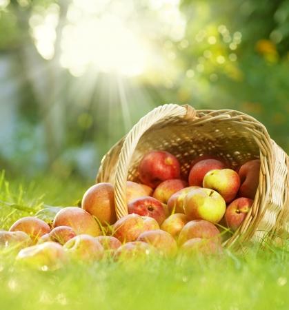 corbeille de fruits: Pommes biologiques sains dans le panier Banque d'images