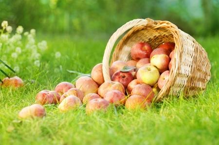 manzana roja: Manzanas orgánicas saludables en la cesta