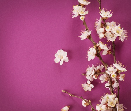 Spring Blossom over pink background photo