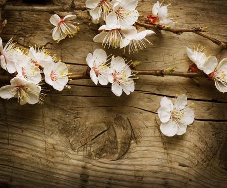 fleurs de cerisiers: Fleurs de printemps sur fond en bois