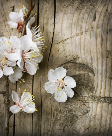 apricot tree: Spring Blossom over wooden background Stock Photo