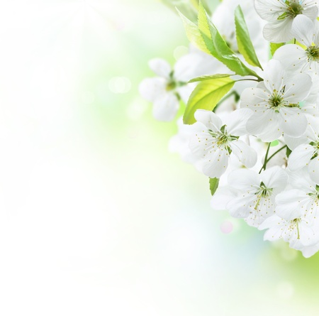 flower petal: Spring Cherry Flowers border. Orchard Stock Photo