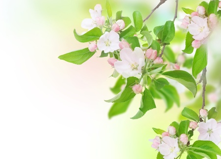 Apple Spring Flowers. Blossom Design Stock Photo - 9443025
