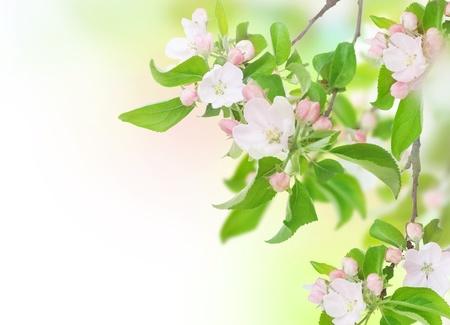 apple blossom: Apple Spring Flowers. Blossom Design
