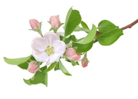 Apple Spring Flowers. Blossom Stock Photo - 9443022