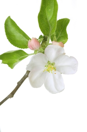 Apple Blossom Isolated on White Stock Photo - 9443026