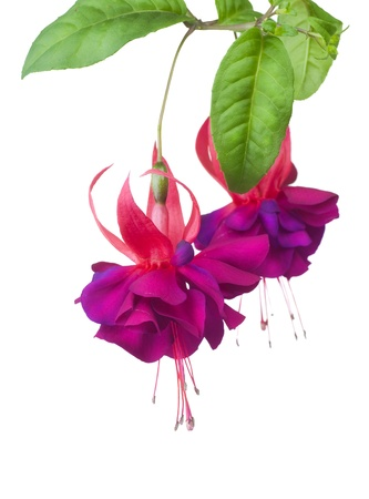 hang up: Fuchsia flowers over white Stock Photo