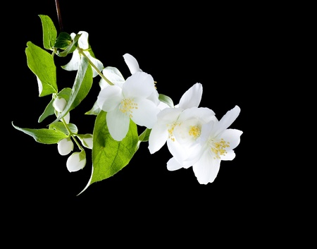 fragrance: Jasmine flowers over black Stock Photo