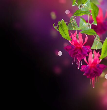 blooming purple: Fuchsia flowers over black Stock Photo