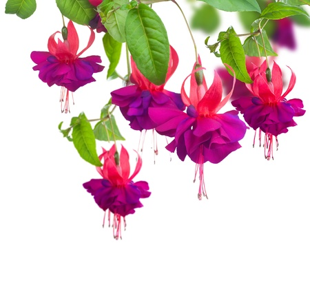 blooming. purple: Fuchsia flowers
