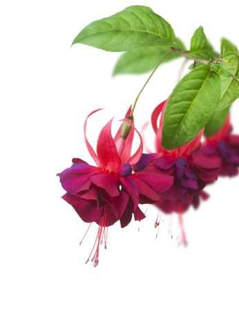 blooming. purple: Fuchsia flowers over white Stock Photo