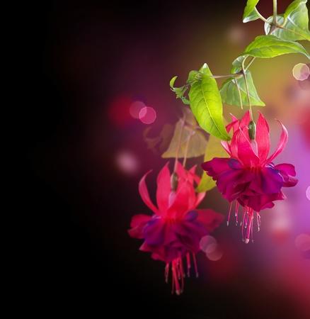 jardines flores: Flores fucsia sobre negro Foto de archivo