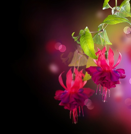 leaf close up: Fuchsia flowers over black Stock Photo