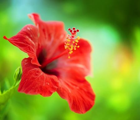 ハイビスカスの花。浅い自由度