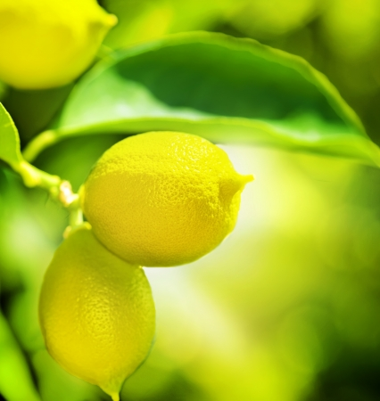 lime green background: Growing Organic Lemons  Stock Photo