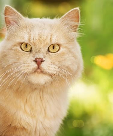 動物: 薄茶色の猫
