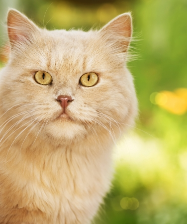 eyes: Chat de gingembre