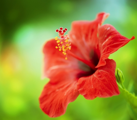 blooming: Hibiscus Flower. Shallow DOF