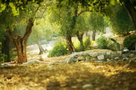 hoja de olivo: Olivos