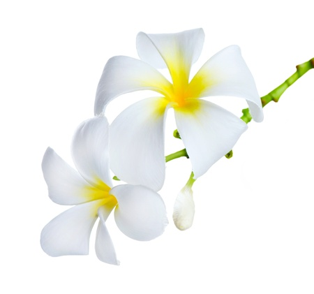 Frangipani Spa Flowers photo