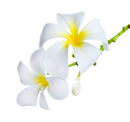 tahitian: Frangipani Spa Flowers
