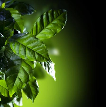 crecimiento planta: Hojas verdes. Caf� Ar�bica Planta aislada en negro Foto de archivo