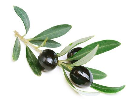 hoja de olivo: Olivos en blanco