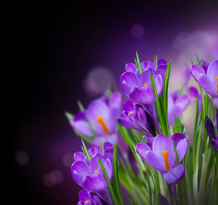 saffron: Crocus Spring Flowers Design over Black