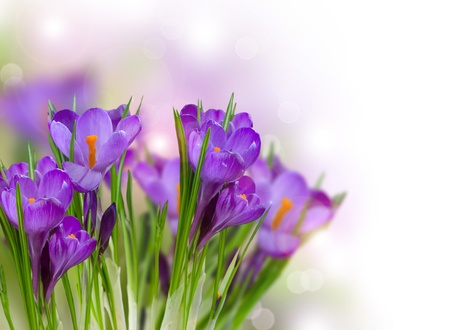 saffron: Crocus Spring Flowers Stock Photo