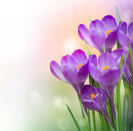 Crocus Spring Flowers Stock Photo