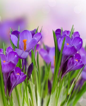 Crocus Fiori di primavera Archivio Fotografico