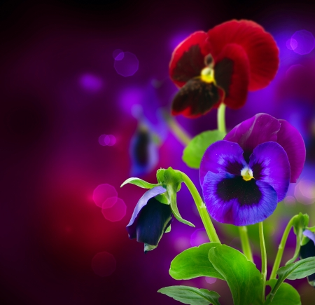 violas: Spring Flowers Pansy over Black