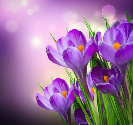 Crocus Spring Flowers 스톡 콘텐츠