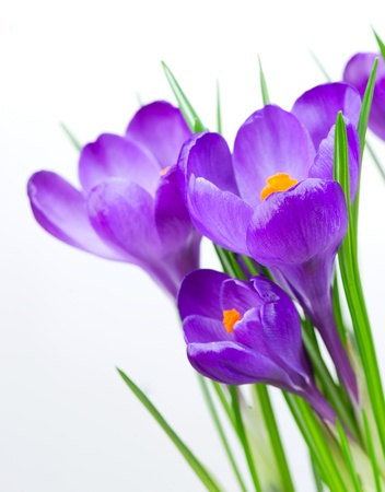 Crocus Spring Flowers isolated on white photo