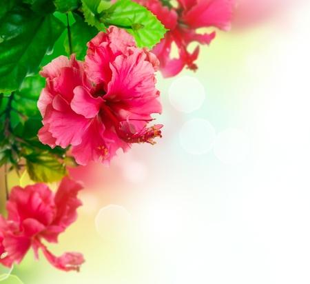flores exoticas: Flor del hibisco dise�o de la frontera m�s de blanco