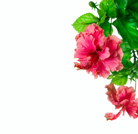 tropical border: Hibiscus Flower isolated on white Stock Photo